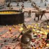 印度35只猴子打群架撞塌民房 致使2名男子丧生